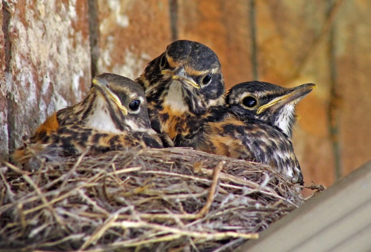 baby-birds-1980128_1280