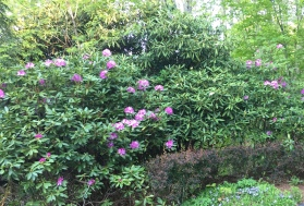 Catawba Rhododendron by the cabin