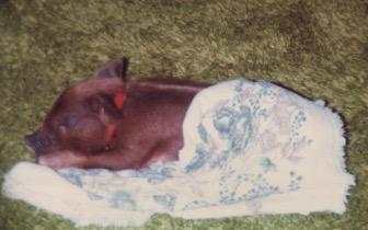 Amelia Pig