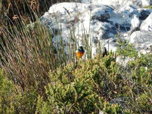 Colorful Bird on Table Mountain