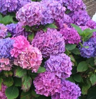 Beautiful Hydrangeas