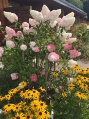 Hydrangeas and Lazy Susans
