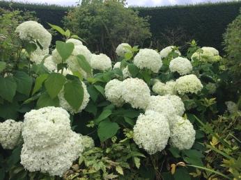 Lacy White Hydrangias