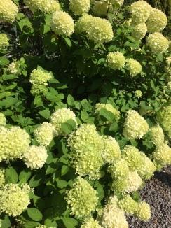 Creamy Hydrangeas