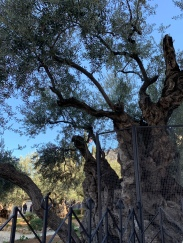 Ancient Olive Tree - Garden of Gethsemane