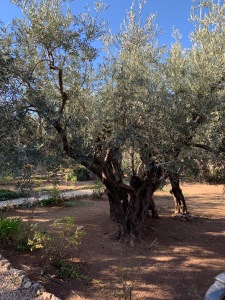 Old olive tree in Garden of Gethsemane