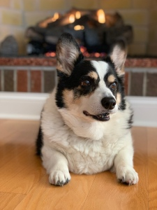 Black, white and tan corgi sitting in front of a fire