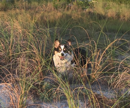 Black and white corgi in tall grass in sand dunes