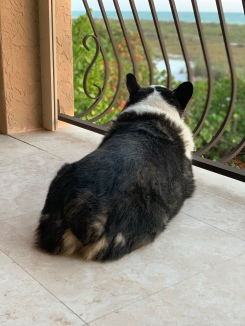 Black and white corgi looking out from balcony towards beach