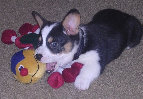 Black, white and tan corgi puppy playing with toy