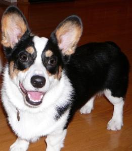 Black, white and tan corgi puppy