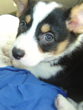 closeup of black, white and tan corgi puppy face