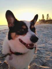 Black, white and tan corgi standing on beach with sun coming up behind him