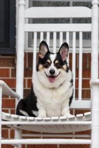 Black, white and tan corgi on white rocking chair in front of red brick home
