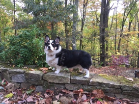 Black, white and tan corgi standing on rock wall with fall leaves all around