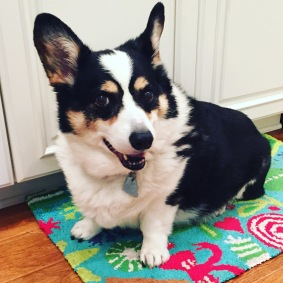 Black, white and tan corgi sitting on Christmas rug in front of white kitchen cabinets