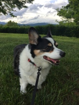 black, white and tan corgi standing in grass with dark blue mountains in the background