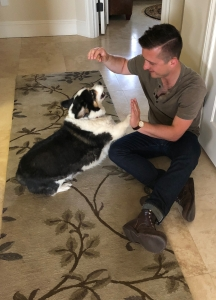Black, white and tan corgi giving young man a high five