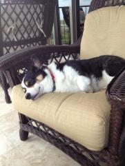 Black, white and tan corgi asleep on brown patio chair