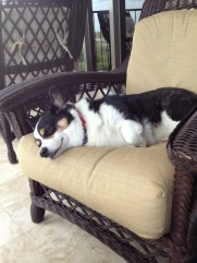 Black, white and tan corgi asleep on brown patio chair