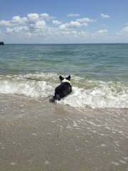 Black and white corgi standing in wave on beach