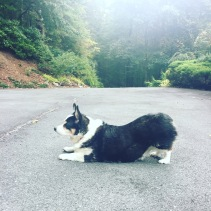 black, white and tan corgi in what looks like the downward dog yoga position on a mountain driveway