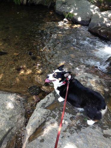 Black, white and tan corgi standing on rock in a mountain stream