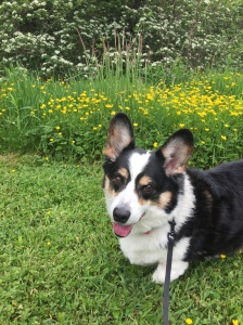 Black, white and tan corgi standing on green grass in front of little yellow flowers and a larger bush with white flowers