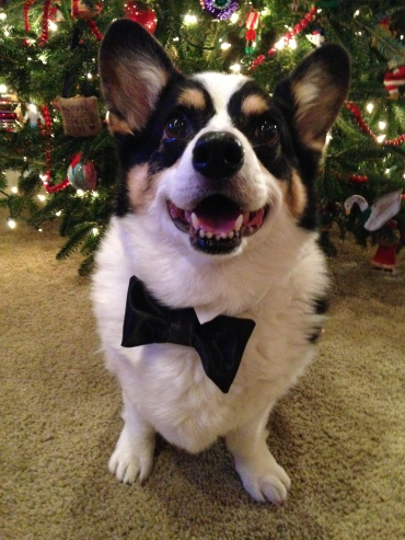 Black, white and tan corgi wearing a black bow tie, standing in front of a Christmas tree