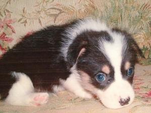 Tiny black, white and tan baby corgi